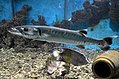Sphyraena barracuda - Pomacanthus maculosus at Red Sea Aquarium by Hatem Moushir.JPG