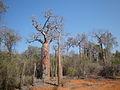 Spiny forest 2, Ifaty, Madagascar.jpg