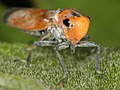 Spittle bug (6295340443).jpg