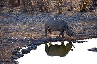 Black rhinoceros - Black rhino at Moringa waterhole, Etosha National Park