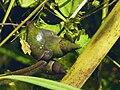 Spitzschlammschnecke (Lymnaea stagnalis) 2011-05-15.jpg