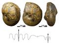 Sporadoceras sp Late Devonian Morocco.PNG