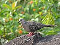 Spotted dove from Gudalur, Nilgiris, Tamil Nadu DSC00659.JPG