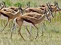 Springboks (Antidorcas marsupialis) herd ... (51091311412).jpg