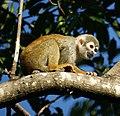 Squirrel monkey- Bonnet House, Fort Lauderdale, Florida (4233831738).jpg