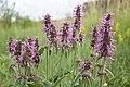 Stachys officinalis (44558415335).jpg