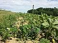 Stachys palustris sl14.jpg
