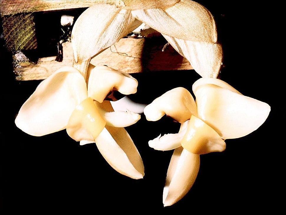 Stanhopea pulla Orchi 003