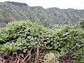 Starr-021012-0010-Pueraria montana var lobata-habit and flowers-Honomanu Hana Hwy-Maui (24257352750).jpg