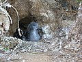 Starr-041029-0288-Nicotiana glauca-wedgetailed shearwater banding-Molokini-Maui (24692361286).jpg
