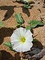 Starr-041115-0783-Ipomoea imperati-flower-Kanaha Beach-Maui (24719884645).jpg