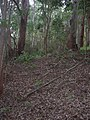 Starr-041214-1492-Cordyline fruticosa-trail building-Makawao Forest Reserve-Maui (24353211339).jpg