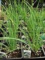 Starr-080117-1588-Allium schoenoprasum-habit-Walmart Kahului-Maui (24532716319).jpg