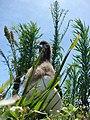 Starr-080602-5539-Conyza bonariensis-habit with Laysan albatross chick-Antenna fields Sand Island-Midway Atoll (24285294203).jpg