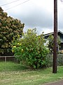 Starr-090417-6135-Tithonia diversifolia-flowering habit-Haliimaile-Maui (24325332823).jpg
