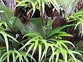 Starr-110307-2130-Platycerium bifurcatum-leaves-Kula Botanical Garden-Maui (24782045210).jpg