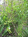 Starr-110609-6125-Ligustrum sp-habit with flowers-Shibuya Farm Kula-Maui (24978596882).jpg