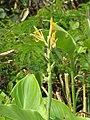 Starr-130318-2615-Canna indica-flowers-Kilauea Pt NWR-Kauai (25207715905).jpg