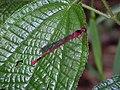 Starr-140909-1774-Clidemia hirta-leaves with Megalagrion blackburni-Wailua-Maui (25219619586).jpg