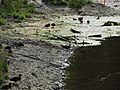 Starr-150331-1041-Cyperus polystachyos-Laysan Ducks-Brackish Pond Sand Island-Midway Atoll (25178678931).jpg