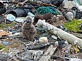 Starr-150402-0903-Coronopus didymus-Laysan Albatross chick in garbage pile-Southeast Eastern Island-Midway Atoll (25248066696).jpg