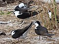 Starr-150403-0270-Brassica juncea-Sooty Terns settling down-Southeast Eastern Island-Midway Atoll (24980450310).jpg