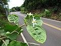 Starr-160919-0736-Solanum torvum-leaves immature fruit flowers-Waihee-Maui (30873410030).jpg