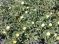 Starr 001219-0089 Tribulus cistoides.jpg