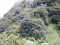 Starr 010908-0021 Ficus cf. platypoda.jpg