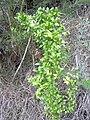 Starr 031114-0006 Asparagus asparagoides.jpg