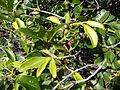 Starr 041223-2057 Psydrax odorata.jpg