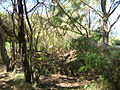 Starr 050108-3021 Casuarina equisetifolia.jpg