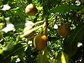 Starr 050216-4051 Pittosporum undulatum.jpg
