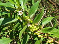 Starr 060305-6526 Myoporum sandwicense.jpg