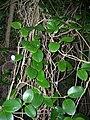 Starr 060422-7752 Hoya australis.jpg