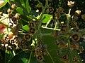 Starr 060703-8294 Eucalyptus deglupta.jpg