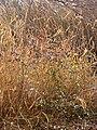 Starr 071225-0695 Lonicera japonica.jpg