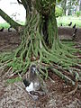 Starr 080607-7332 Ficus microcarpa.jpg
