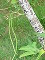 Starr 080610-8330 Vigna unguiculata subsp. sesquipedalis.jpg