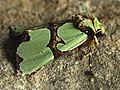 Staurophora celsia - Совка роскошная (40236188225).jpg
