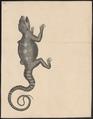 Stellio vulgaris - 1700-1880 - Print - Iconographia Zoologica - Special Collections University of Amsterdam - UBA01 IZ12700071.tif