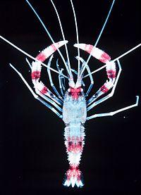 Stenopus hispidus.jpg