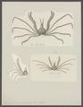 Stenorhynchus phalangium - - Print - Iconographia Zoologica - Special Collections University of Amsterdam - UBAINV0274 095 17 0003.tif