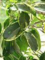 Stephanotis floribunda variegata 33.JPG