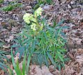 Stinking Hellebore at Barrmill.JPG