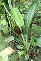 Strelitzia nicolai 21zz.jpg