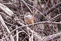 Striated Grasswren (Amytornis striatus) (8079651078).jpg