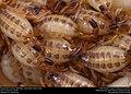 Striped Bark Scorpion (Buthidae, Centruroides vittatus (Say)) (36906275385).jpg