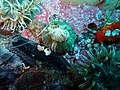 Striped anemone P9070215.JPG