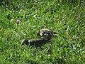 Sturnus vulgaris, Nis, Serbia 11.jpg
